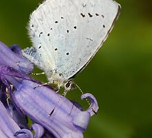 Holly Blue by Neil Bygrave (NATURELENS)