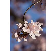 Pink Spring - Sunlit Blossoms and Blue Sky, Vertical Photographic Print