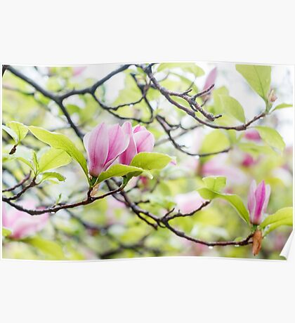 Pink magnolia flowers in spring time Poster
