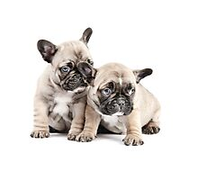 Frenchie Puppy Pals Photographic Print