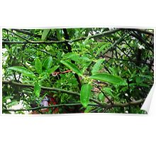 Dew drops on leaves Poster