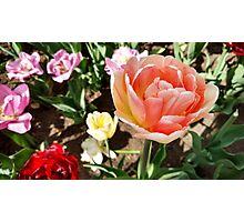 Pretty Pink Tulip in Full Bloom Photographic Print