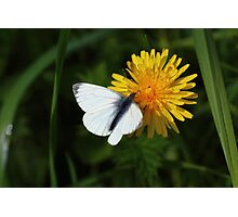Green veined butterfly Photographic Print
