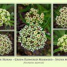 Antelope Horns – Green-Flowered Milkweed – Spider Milkweed by Owed To Nature