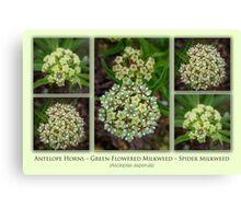 Antelope Horns – Green-Flowered Milkweed – Spider Milkweed Canvas Print
