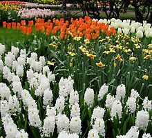 Fire and Ice - Dutch Bulbs in the Keukenhof Gardens by MidnightMelody