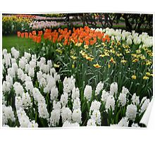 Fire and Ice - Dutch Bulbs in the Keukenhof Gardens Poster