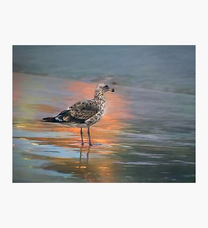 Young seagull at dawn Photographic Print