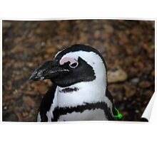 African Baby Penguin 2 Poster