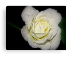 drops on a white rose at night Canvas Print