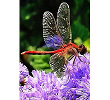 Red Dragonfly on Violet Purple Flowers Photographic Print