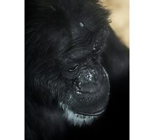 Old Chimp - Close up of an older chimpanzee Photographic Print