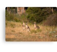 Trio of Posing Kangaroos Canvas Print