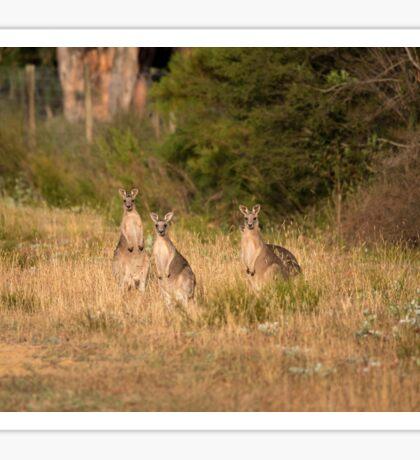 Trio of Posing Kangaroos Sticker