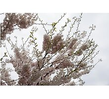Springtime Abundance - Gently Pink Cherry Blossoms Photographic Print