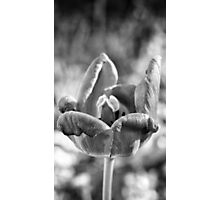 Black and White Spring Tulip #2 Photographic Print