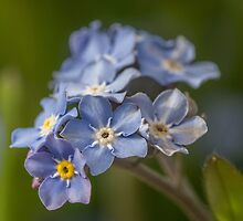 Forget-me-nots by Judi Lion