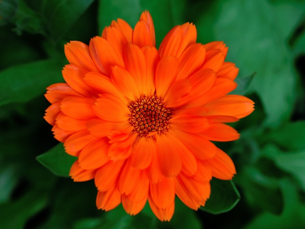 Calendula officinalis by Stephen Frost