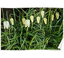 A white flower bells Poster