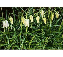 A white flower bells Photographic Print
