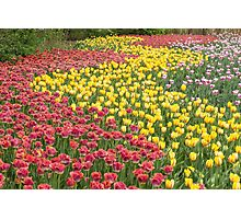Rows of Tulips in Spring Photographic Print