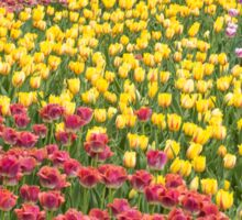 Rows of Tulips in Spring Sticker