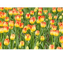 Tulips in the spring time Photographic Print