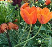 Couple of orange tulips by Aase