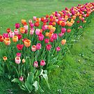 Tulips colours by Aase