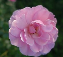 pretty pink rose flower photo by naturematters