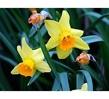 Fortune Daffodils Photographic Print