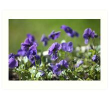 blue pansy flowers macro shot Art Print