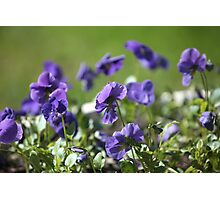 blue pansy flowers macro shot Photographic Print