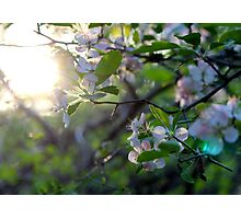 Sunlight Through Prairie Crabapple Blossoms Photographic Print