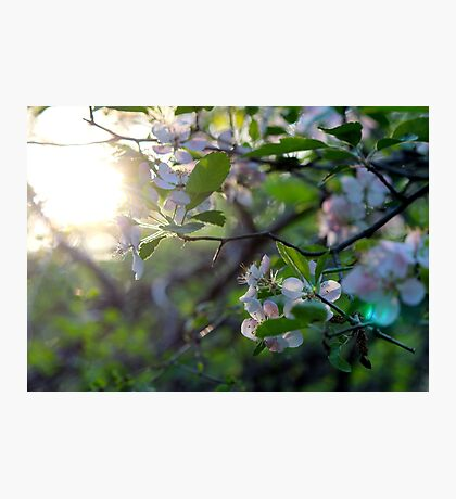 Sunlight Through Prairie Crabapple Blossoms Photographic Print