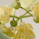 Basswood Tree Blossoms - Macro by Sandra Foster