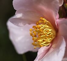Dream Time Camellia by Joy Watson