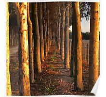 Treelined Sugar Gums - Macro Poster