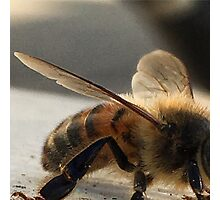 Resting Bee - Macro  Photographic Print