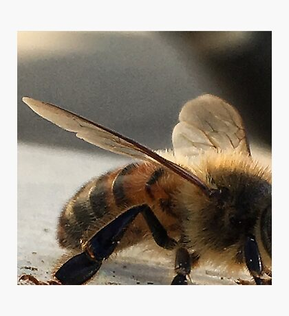 Resting Bee - Macro  Photographic Print