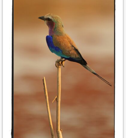 Lilac Breasted Roller Sticker