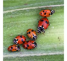 Ladybirds on Corn - Macro Photographic Print