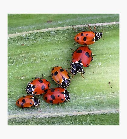 Ladybirds on Corn - Macro Photographic Print