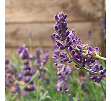 French Lavender  Photographic Print