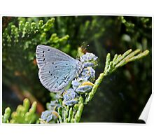 Holly Blue Butterfly Poster