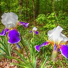 Bi-color Iris Blooms And Buds by James Brotherton