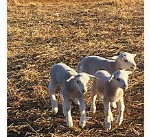 Dorper Lambs Photographic Print