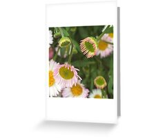 Seaside Daisies Greeting Card