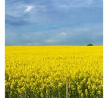 Canola Fields  Photographic Print