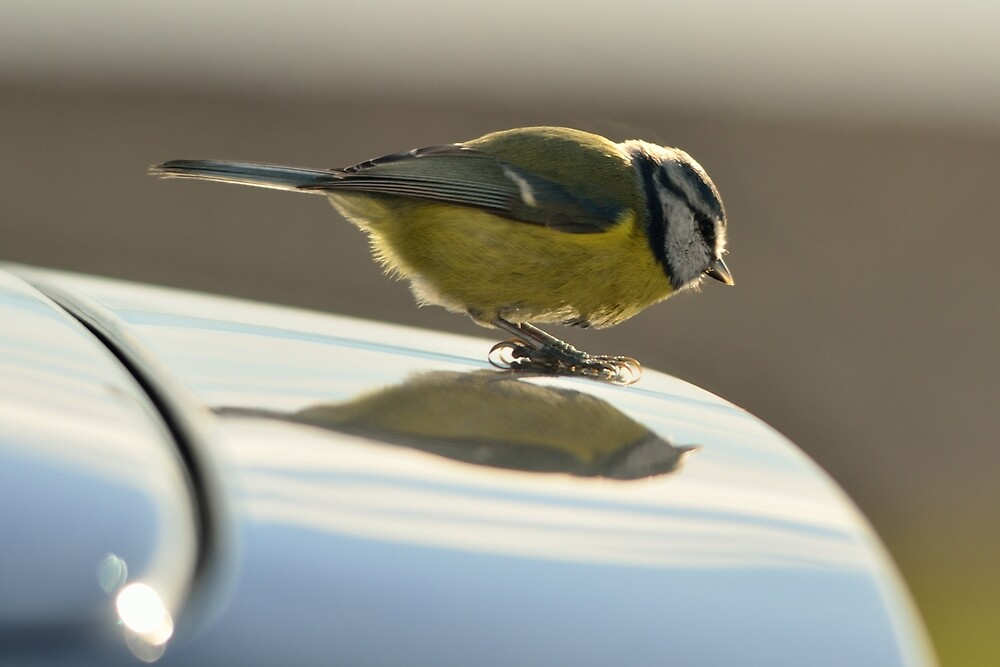 Blue Tit, a new logo on my car? by Stephen Frost